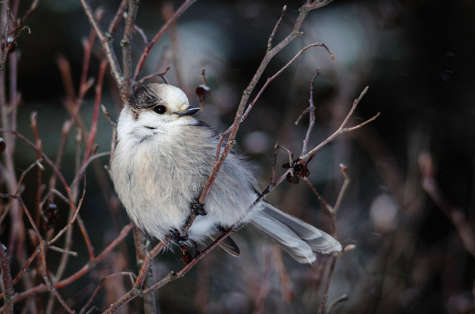 DSC_2136 gray jay website