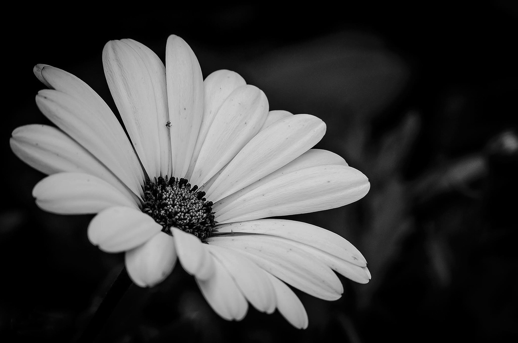 black and white daisy website